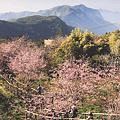 02-22_dingshizhao_sakura