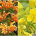 【炮仗紅.油菜花.向日葵.波斯菊】