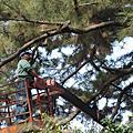 彰化清水岩寺二葉松遭松材線蟲侵蝕 樹醫師搶救重現生機