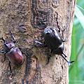 彰化八卦山獨角仙爆棚 看甲蟲春宮秀秘境在這