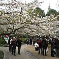 太子灣2008櫻花季
