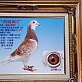 2014種鴿欣賞