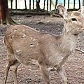 奈良小鹿亂撞