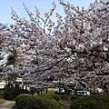 20100330哲学堂公園の桜