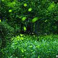 2012光華村螢火蟲
