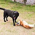 【開箱文】轟狗家的第6隻狗,滿福堡加蛋!