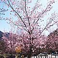 20140222 第一次武陵賞櫻一日遊