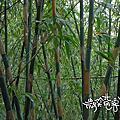 2012草嶺古道芒草季