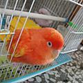 紅目鸚鵡-妞妞&變紅色的妞妞