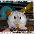銀狐倉鼠─塔醬(たっちゃん)在這裡