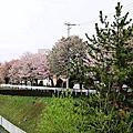 2013 櫻花追追追-北海道