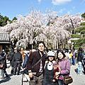 日本花漾醉舞櫻(京都 大阪 神戶 奈良)