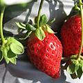 2008 草莓遊記