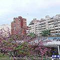 <台北>內湖樂活公園 (東湖櫻花林)白天與夜晚賞『寒櫻』