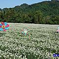 大溪景點『中新里韮菜花田』九月雪~(季節限定美景)