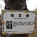 台中景點/后里『崴立電機櫻花公園』季節限定賞櫻花