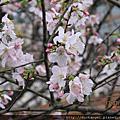 2012-03-13-淡水天元宮賞花趣