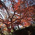 日本鎌倉賞楓葉