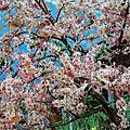 六龜花旗木