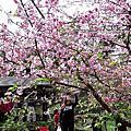 高雄寶山二集團櫻花