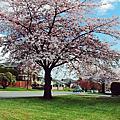 1104-溫哥華一樹樹的花開 美哉人間四月天