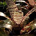 Vriesea fosteriana var. seideliana pallida