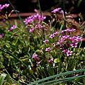 Oxalis  articulata ssp.'rubra'