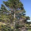 森林生態旅遊-合歡山