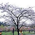 20120311 櫻花 阿里山