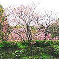 2018陽明山櫻花季