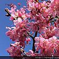 今年最美的櫻花-石棹櫻花