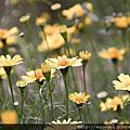 春分野菊花