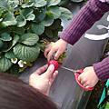 2007.02.01 新埔採草莓