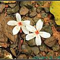 三芝大坑油桐花