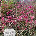 【日月潭住宿】伊達邵部落、開窗賞櫻花之旅人小木屋。2020春