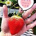 【枥木縣內限定】巨無霸草莓SKYBERRY。現採吃到飽。2020春