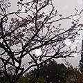 細雨阿里山之櫻
