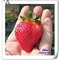后里採草莓驚聲尖叫之阿肥踩草莓