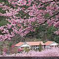 2012武陵農場櫻花