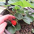 萬人迷草莓