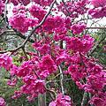 【南投住宿】桃米。森之屋民宿。門口就有美麗櫻花樹