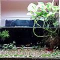 天然水草缸-2011.10月 新設缸