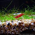 天然水草缸 VS. 極火蝦
