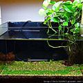 天然水草缸-2011.12月 歷時2個月