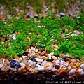 天然水草缸 VS. 貝蚤