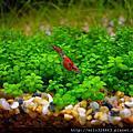 天然水草缸 VS. 琉璃蝦