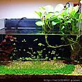 天然水草缸-2012.02月 歷時4個月