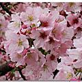 櫻花飛舞天元宮