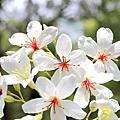 西湖油桐花季