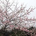 2014明池櫻花